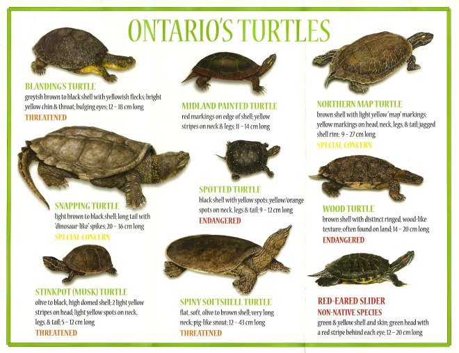 ontario_turtles