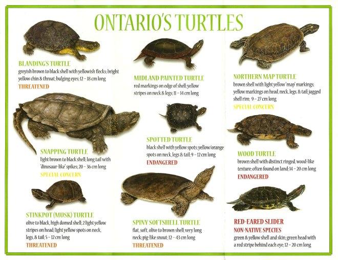 ontario_turtles
